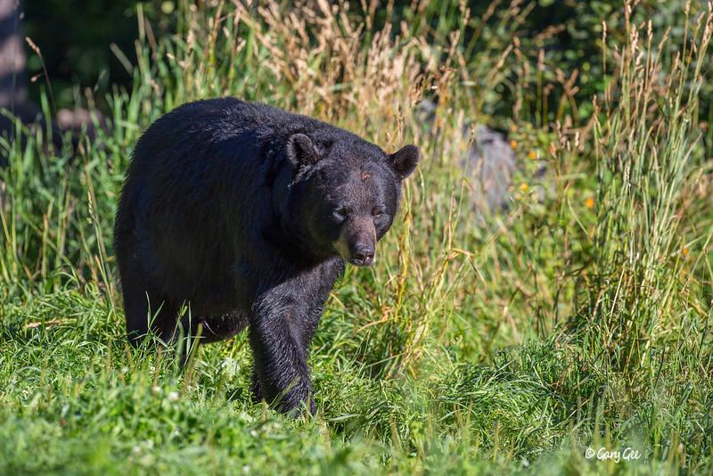 Black Bear_55-1