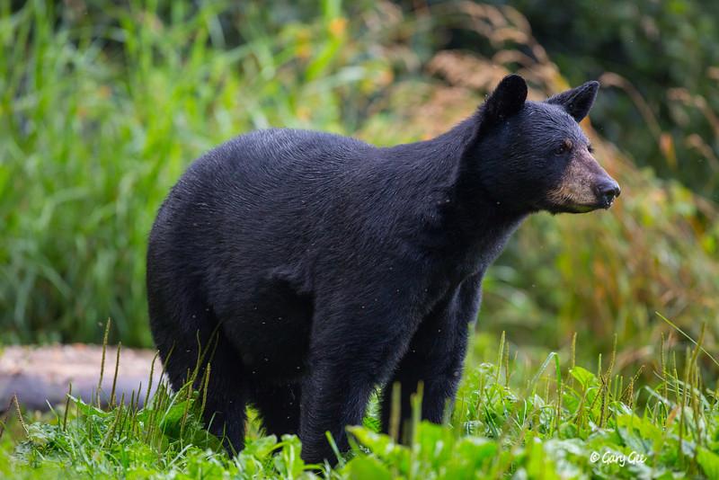 Black Bear_65-1