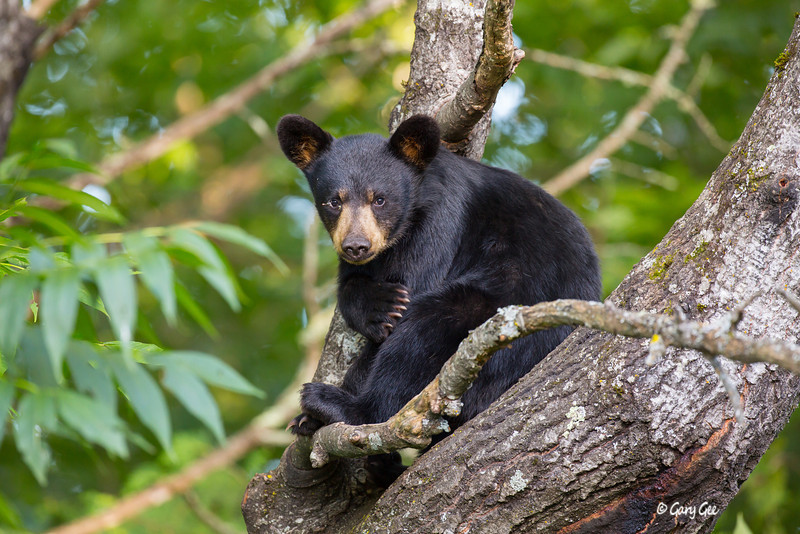 Black Bear_31-1