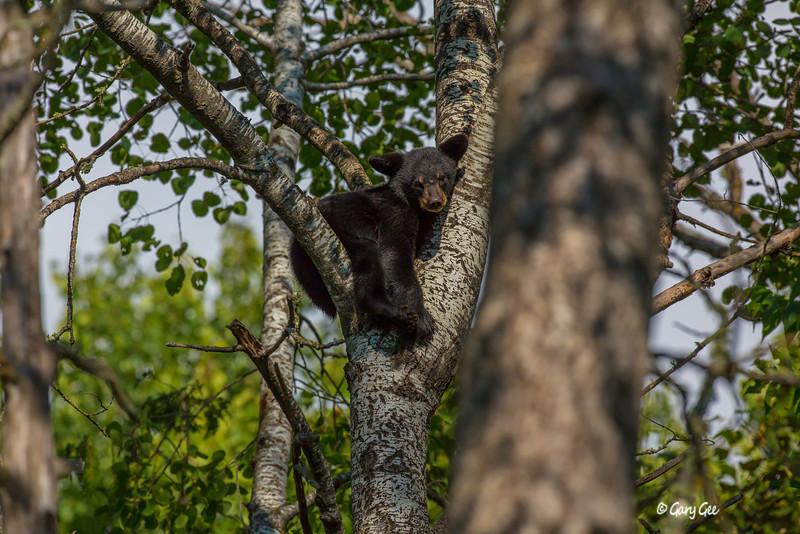 Black Bear_132-1