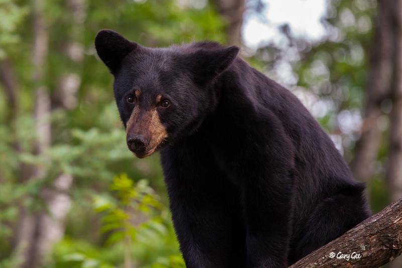 Black Bear_148-1