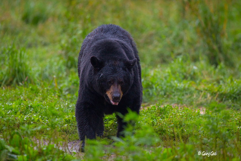 Black Bear_70-1