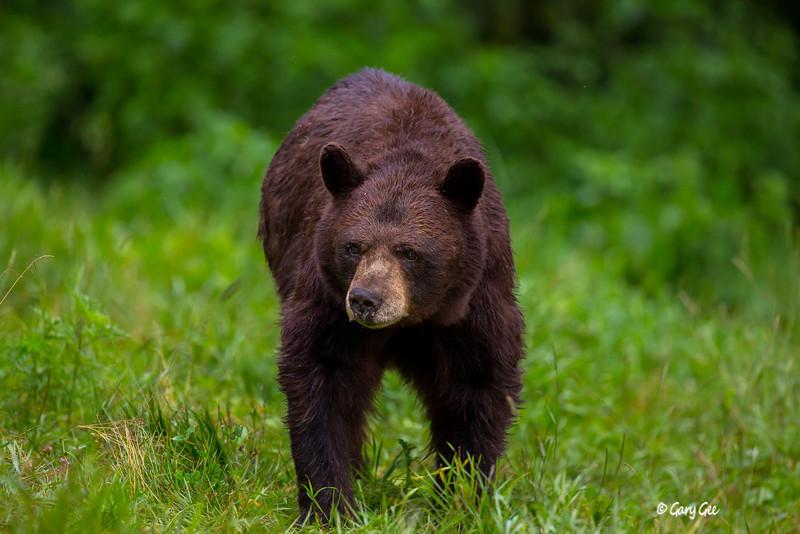 Black Bear_100-1