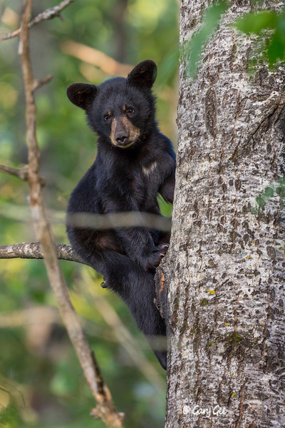 Black Bear_32-1