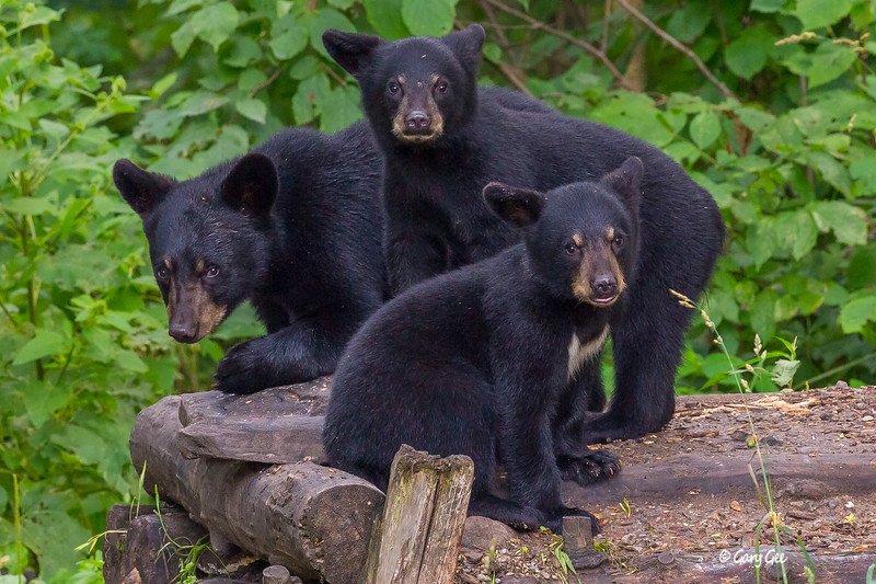 Cute Trio of Black Bear Cubs