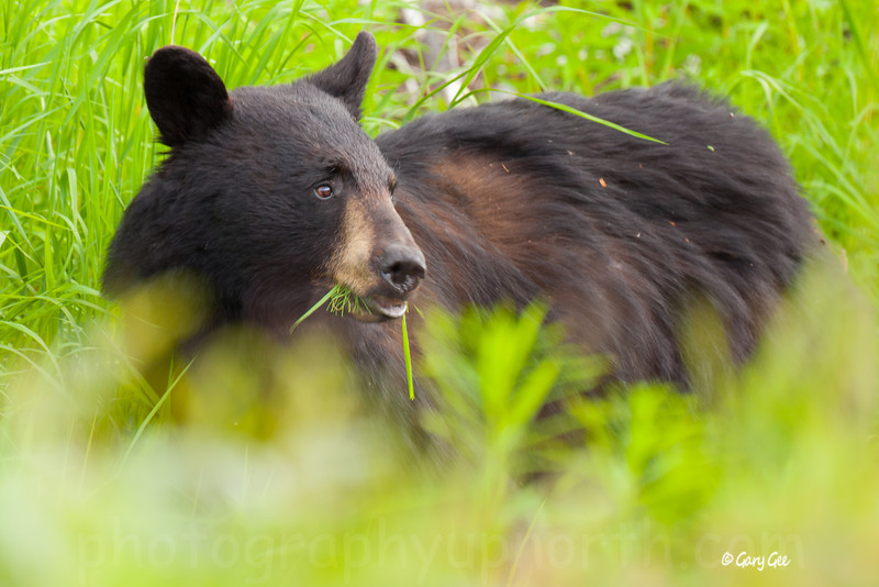Black Bear in the fresh green grasses of spring!