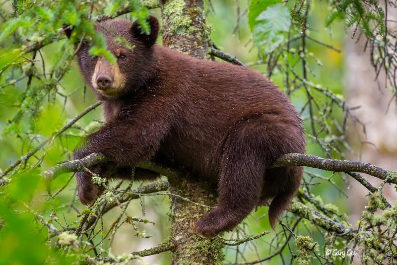 Black Bear_92-1