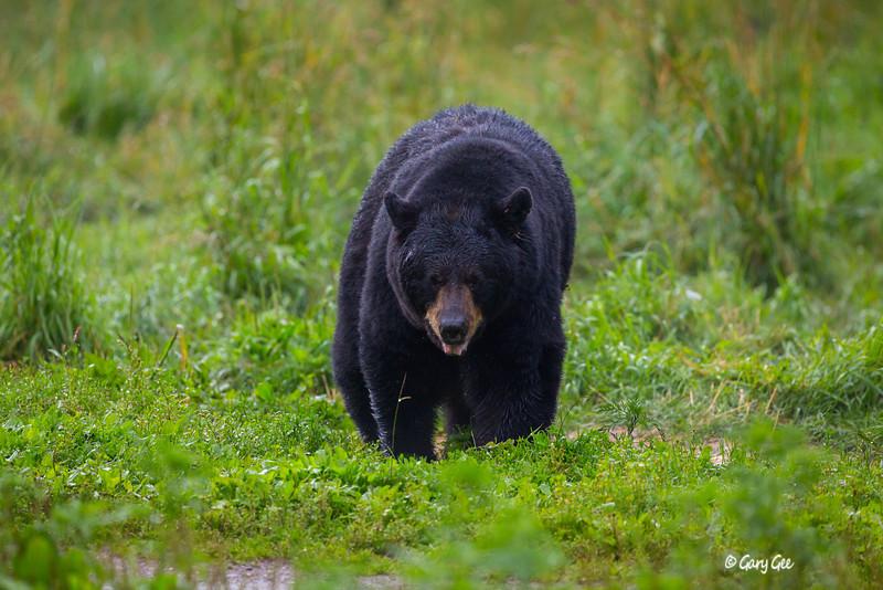 Black Bear_68-1