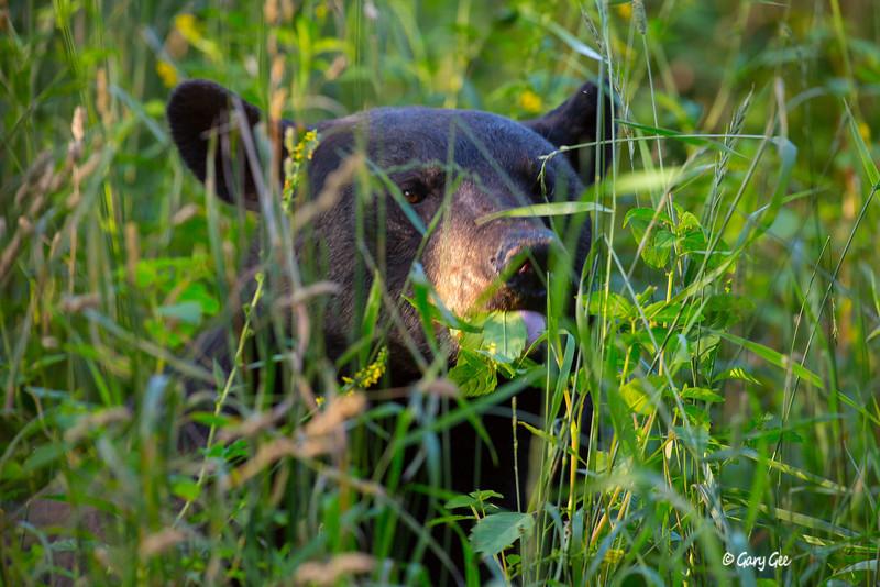 Black Bear_62-1