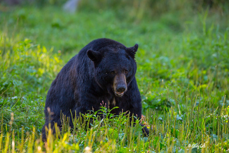 Black Bear_150-1