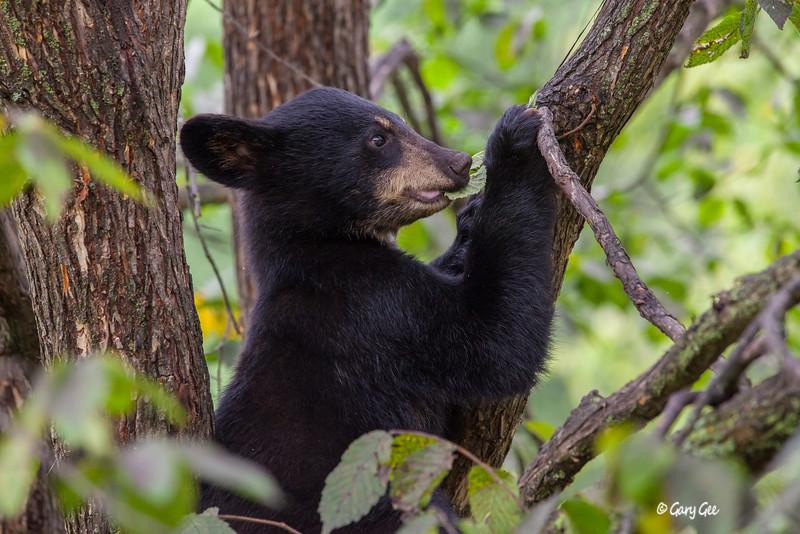 Black Bear_133-1