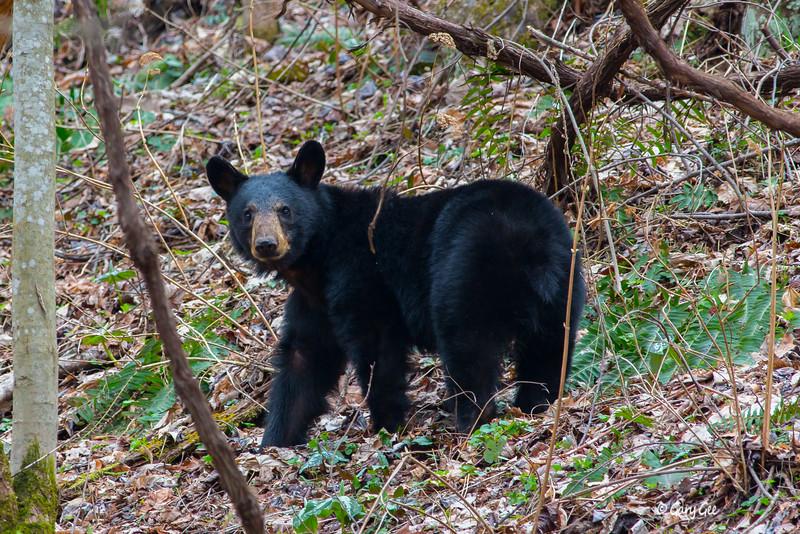 Black Bear Smoky Mountains National Park