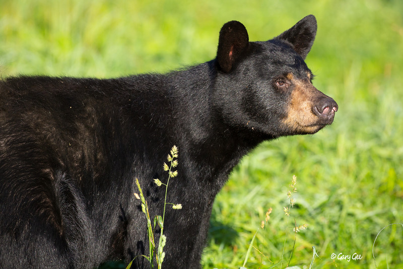 Black Bear_46-1