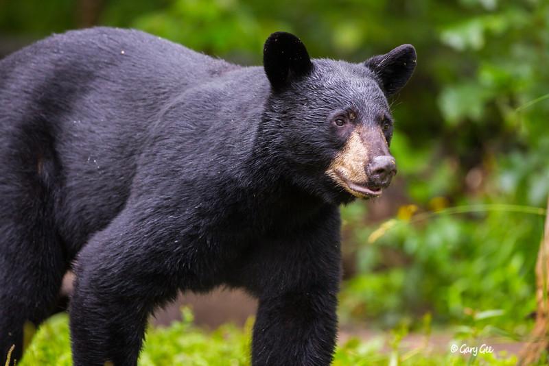 Black Bear_117-1
