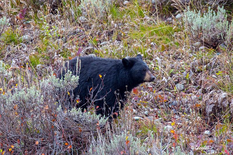 Black Bear in Yellowstone Park 2015
