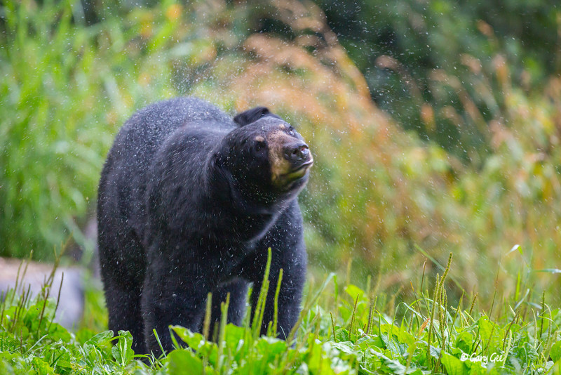 Black Bear shaking the rain off