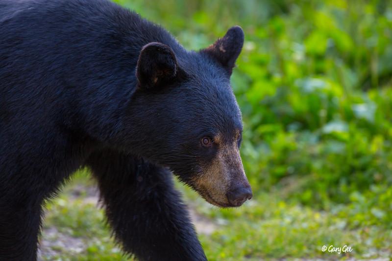 Black Bear_63-1