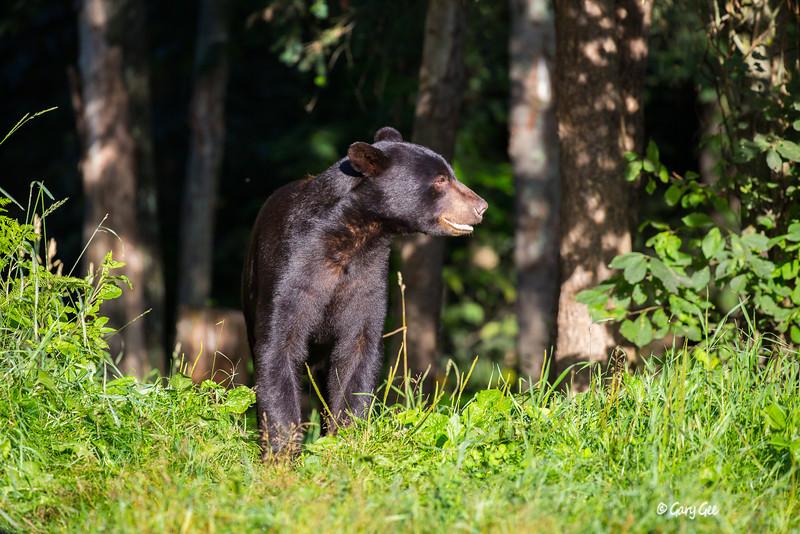 Black Bear_52-1