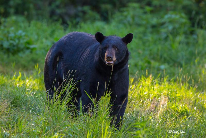 Black Bear_61-1