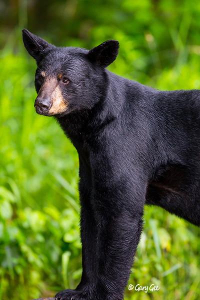 Black Bear_95-1