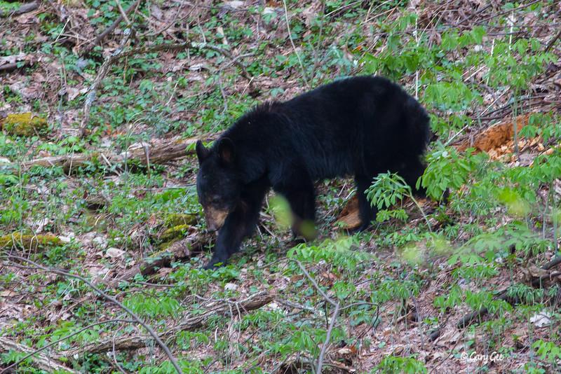 Black Bear-8