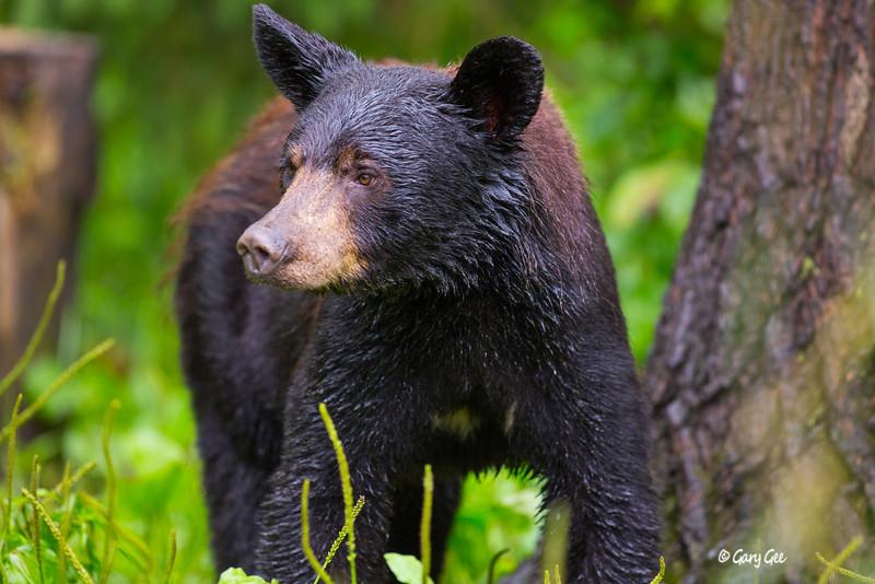 Black Bear_115-1