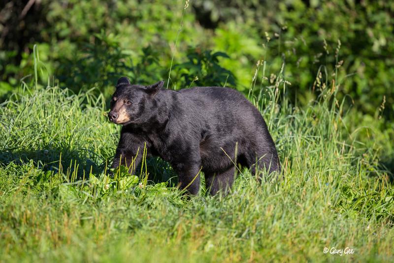 Black Bear_50-1