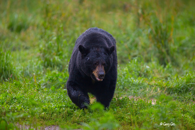 Black Bear_69-1