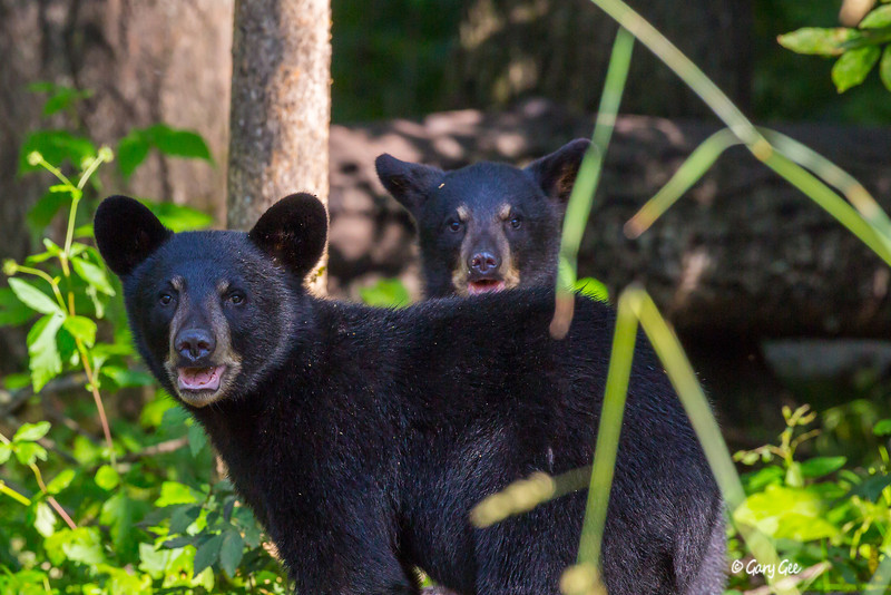 Black Bear_137-1