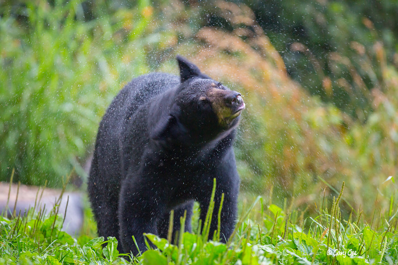 Black Bear shaking the rain off
