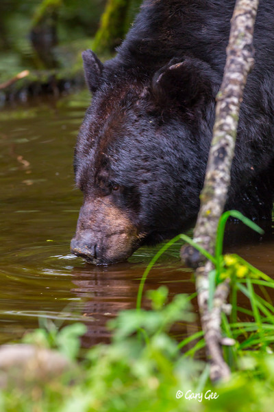 Black Bear_145-1