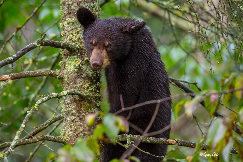 Black Bear_91-1