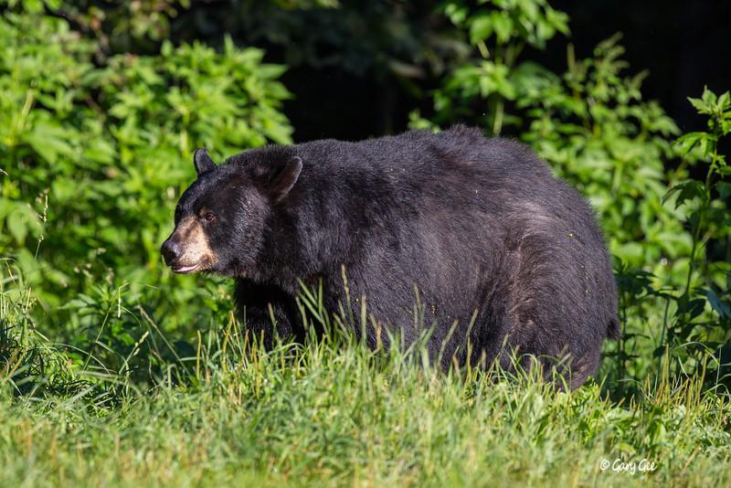 Black Bear_58-1