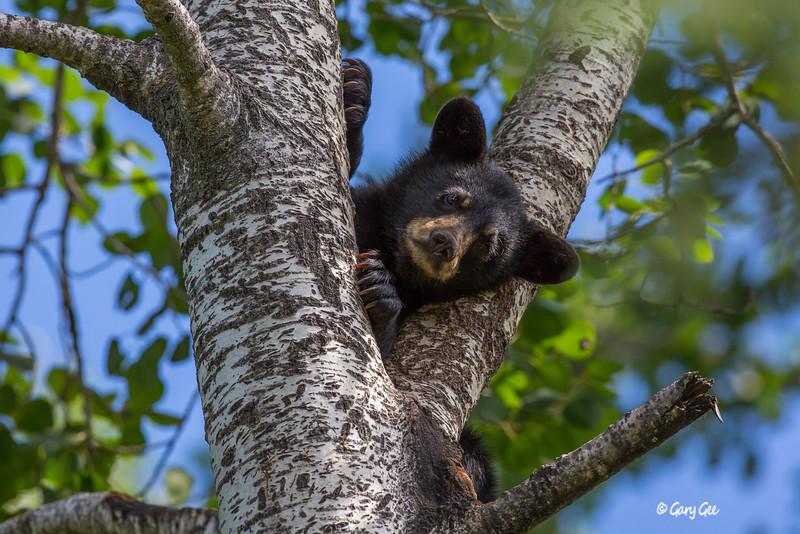 Black Bear_18-1