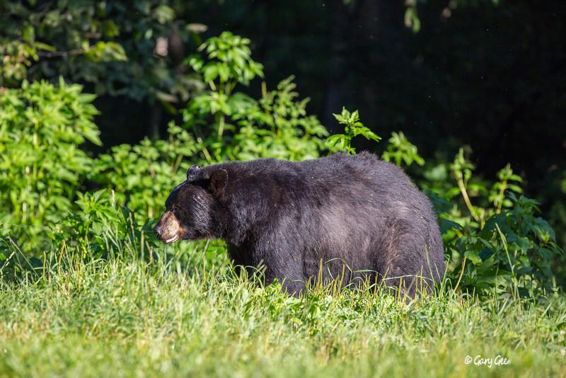Black Bear_57-1