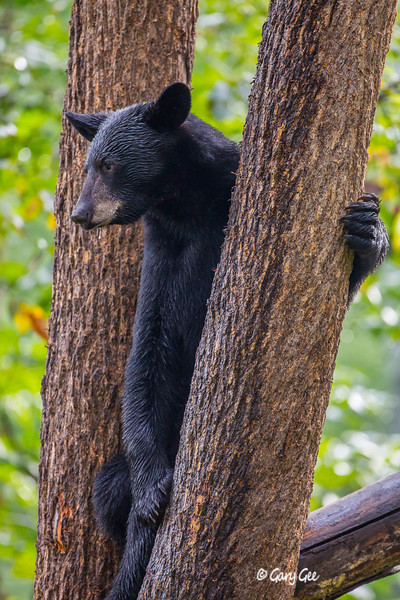 Black Bear_110-1