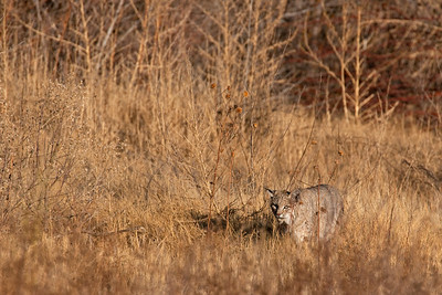 Bobcat, Bosque Del Apach national Wildlife Refuge, NM