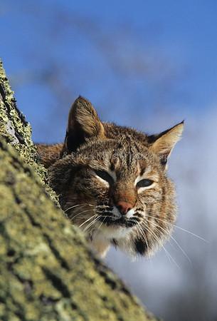 Bobcat, Predator, North America