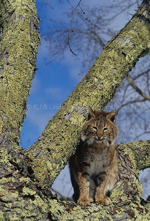 Bobcat, Predator, North America