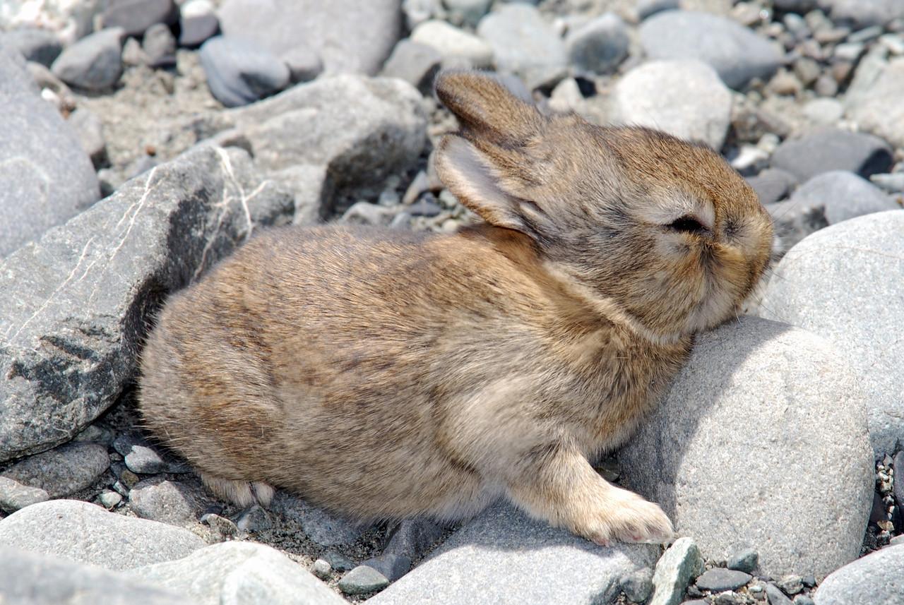 Baby brown hare (Lepus europaeus). Havelock River, Canterbury.