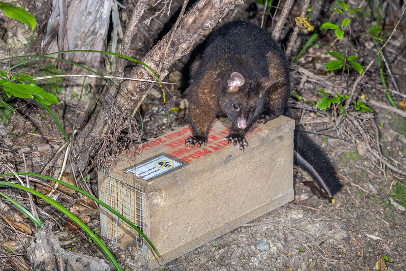 Brushtail possum (Trichosurus vulpecula). Whites Bay, Rarangi, Marlborough.
