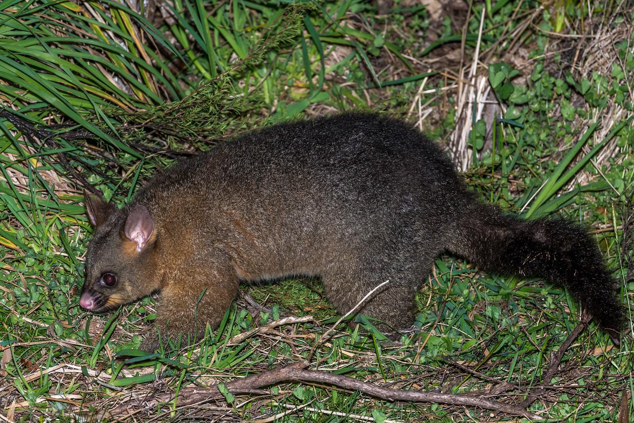Brushtail possum (Trichosurus vulpecula). Whariwharangi Bay, Abel Tasman National Park.