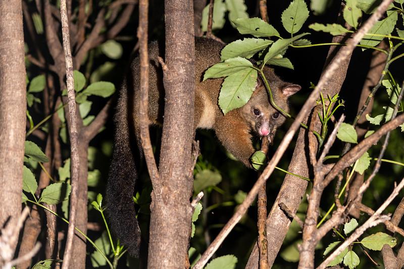 Brushtail possum (Trichosurus vulpecula). Cullen Point Track, Havelock.