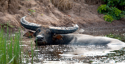 Water Buffalo looking for lillies