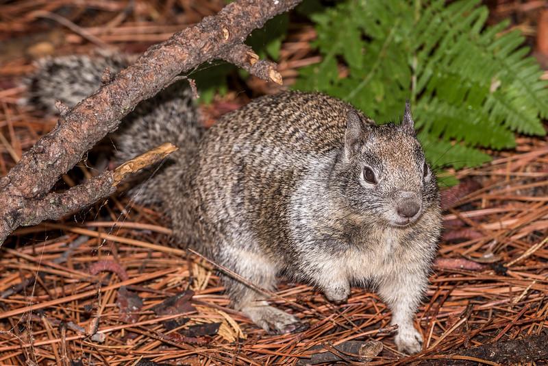 California ground squirrel (Otospermophilus beecheyi). Yosemite Village, CA.