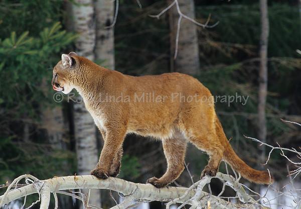 Cougar, Mountain Lion, Puma, North America