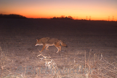 Coyote with 3 White-Tailed Deer on Horizon