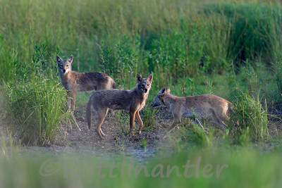 Pack of Coyotes