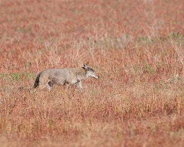 Coyote, Wichita Mountains Wildlife Refuge, Oklahoma