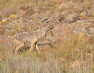 Coyote, see how well he blends into the rocks, Wichita Mountains Wildlife Refuge, Oklahoma